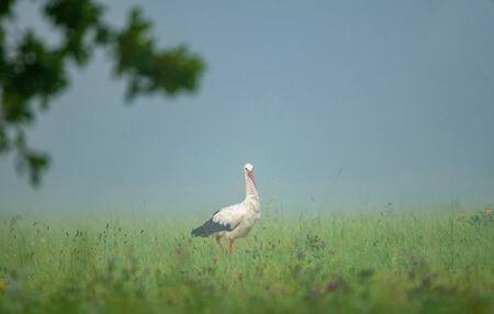 White stork in a field, searching for food in early foggy summer morning Stok Fotoğraf