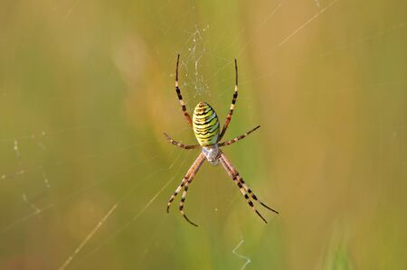 Wasp spider (argiope bruennichi) sitting on a spider web Фото со стока - 132166585