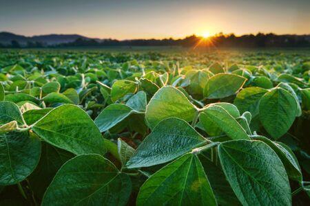 Pole soi oświetlone wczesnym porannym słońcem. Uprawa soi
