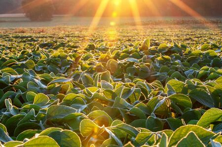 Soy field lit by beams of warm early morning light Stock Photo