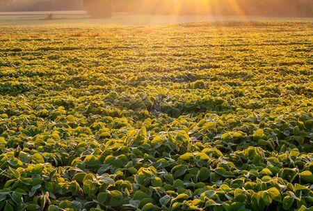 Soy field lit by beams of warm early morning light Zdjęcie Seryjne - 134527211
