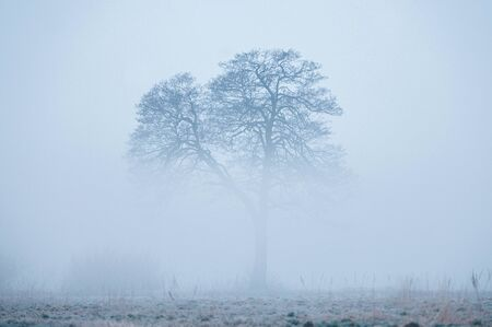 Alone tree, rising from a fog in early frosty and foggy winter morning
