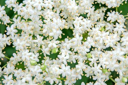 Close up photo of white blossom of elderflower (Sambucus nigra) shrub Zdjęcie Seryjne - 134527210