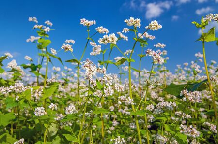 Close up photo of white blossoms of buckwheat plants, growing in a field Zdjęcie Seryjne