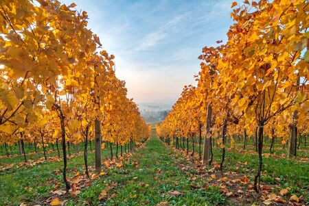 Beautiful yellow coloured leaves in autumn vineyard in early morning Zdjęcie Seryjne