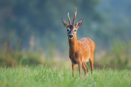 Wild roe deer (Capreolus capreolus) standing in a field and looking at the camera