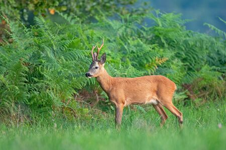 Wild roe deer (Capreolus capreolus) standing by the edge of the forest Zdjęcie Seryjne - 132166460