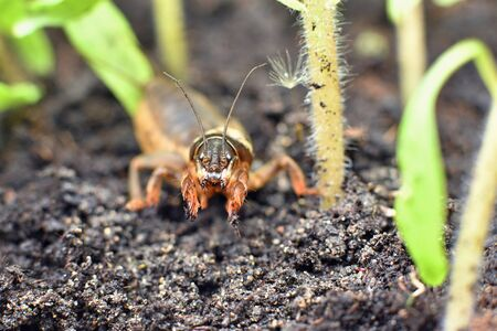 Frontal close-up of a mole cricket amongst young tomato plants
