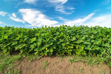 Field of soybean, growing under blue skyduring summer season 스톡 콘텐츠