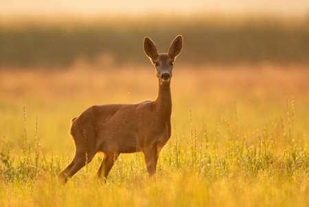 Female roe deer, backlit by warm early morning sunlight