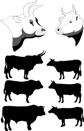 rind: K�he und Bullen Illustration