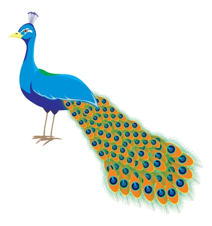 tail fan: An illustration of a peacock with long tail Illustration