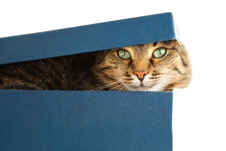 cat in box. white background