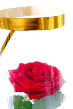 red rose in packing transparent packing on white background