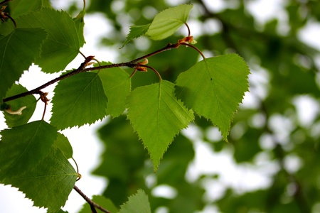 green foliage of a birch,close up