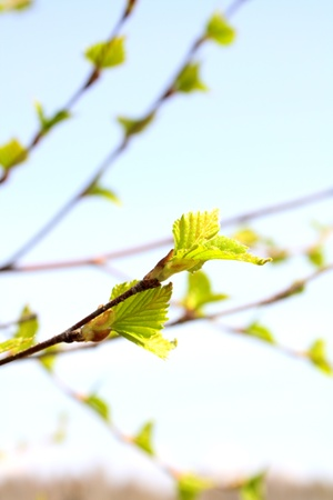 Early foliage  against the sky, close up