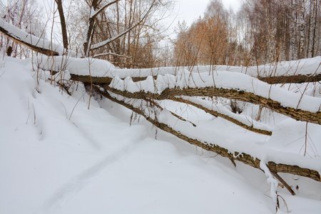 fallen tree in winter forest