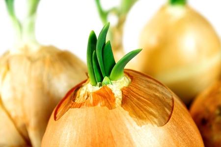 cebolla blanca: cebolleta close up
