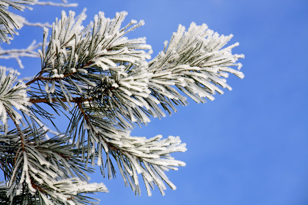 pine branch covered with frost, against the blue sky Stock Photo