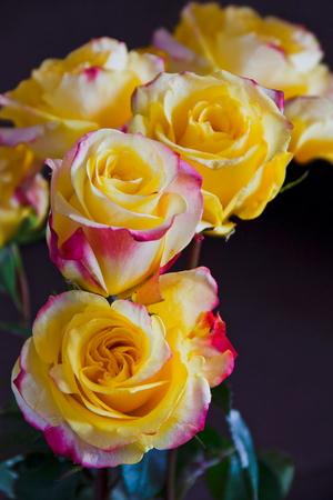 yellow roses  dark background Stock Photo