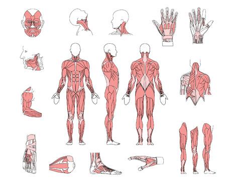 sistema muscular Ilustración de vector