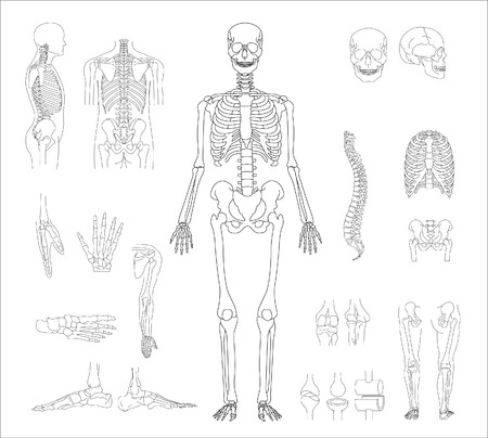 the skeleton:   human skeleton