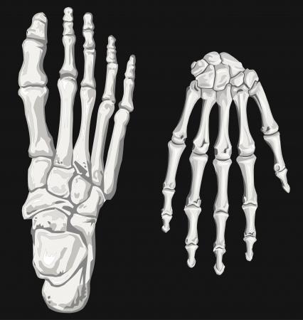 manos y pies: mano de esqueleto y el pie Vectores