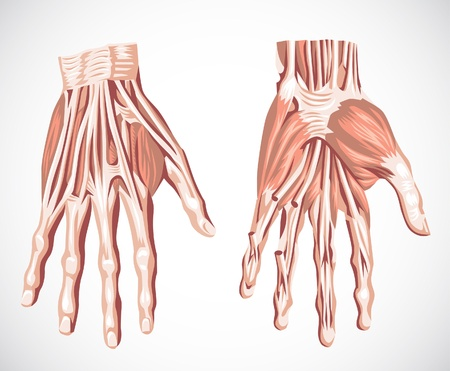 medical drawing: muscle system  hand