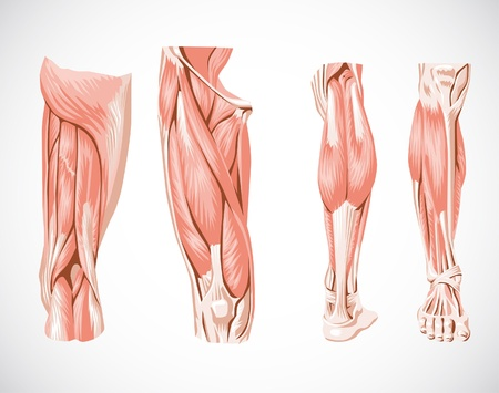 anatomia humana: pierna sistema muscular Vectores