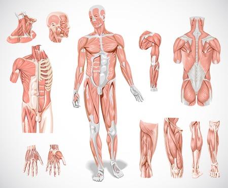 anatomie mens: spiersysteem Stock Illustratie