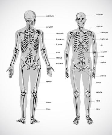 anatomical: human skeleton Illustration