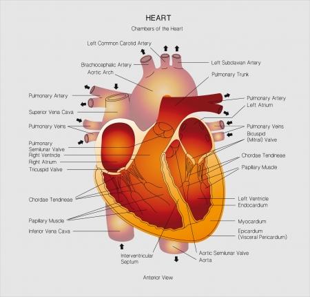 examination stress: heart cross section