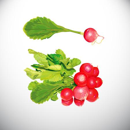 Radish icon on white background, vector illustration.