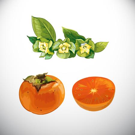persimmon: Fruit, persimmon Illustration