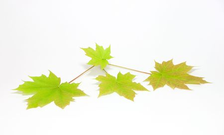 Maple leaves on a branch photo