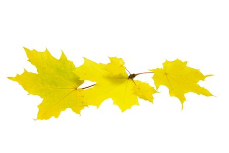 Yellow maple leaves isolated on white photo