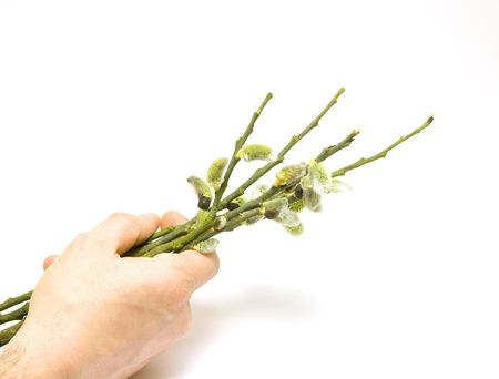 salix: Human hand holding salix branches