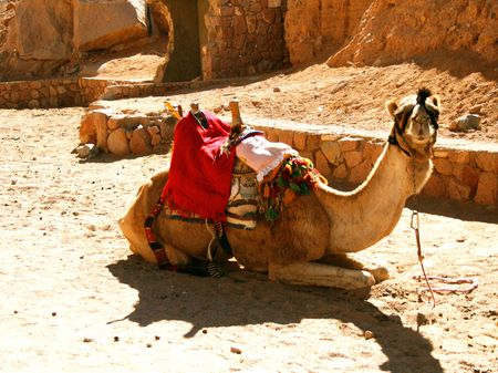 Сamel near the walls of monastery St.Catherine Egypt