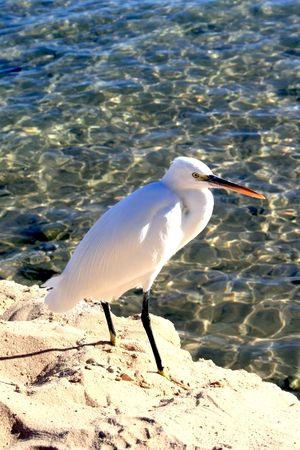 White heron on a background clean water of the Red sea photo