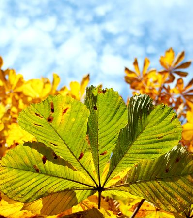 Chestnut leaves on a background blue sky with clouds photo