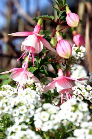 flores fucsia: Macro de flores de color rosa fucsia y yema Foto de archivo