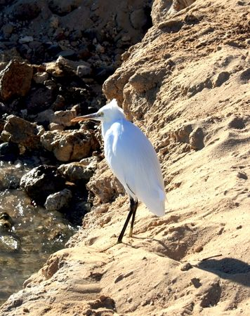 White heron on a sand and water background photo