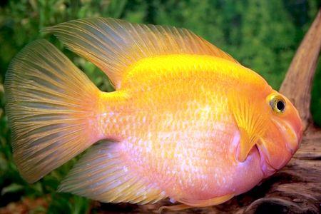 Fancy Gold Fish in Aquarium photo