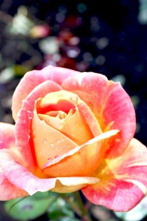 beautifu: Beautiful pink-yellow rose with water drops Stock Photo