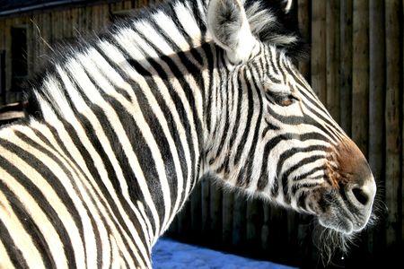 Grevys Zebra photo