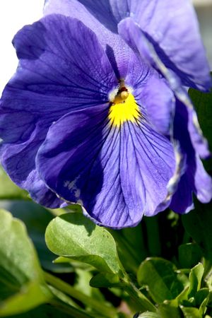 Violet pansies close-up photo