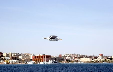 Albatross, flying near a Hurghada coastline photo