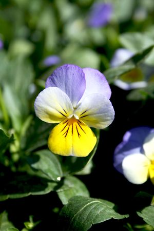 Coloured pansies close-up photo