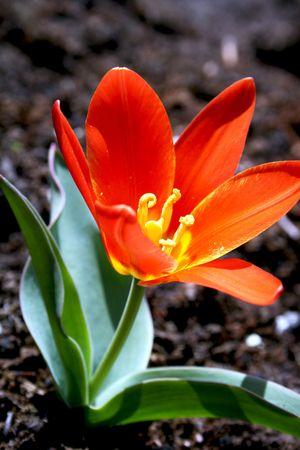 Red midget tulip photo