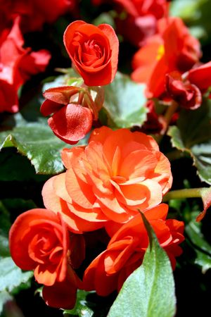Small bush of bright red begonias photo